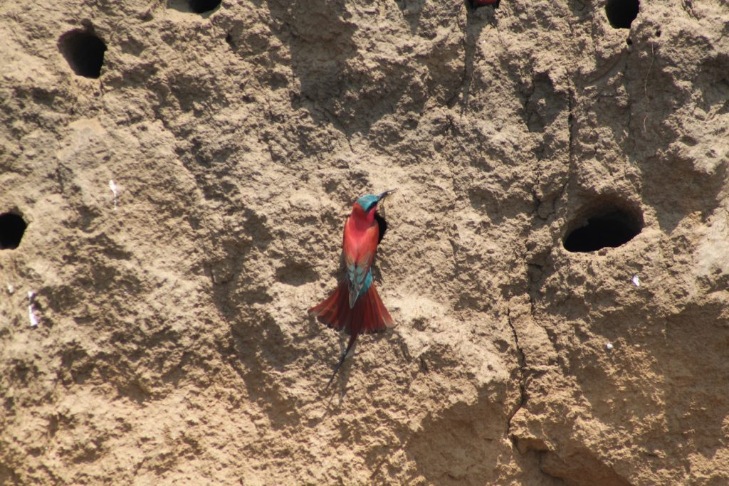 Zambia is known for Carmin Bee Eaters at the end of the year